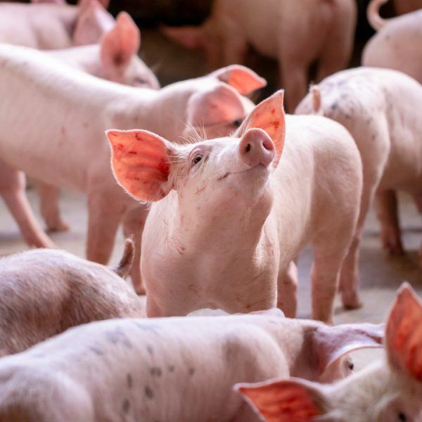 """Waitrose is set to roll out a new mobile app allowing it to assess the """"emotional state"""" of animals at its suppliers."""