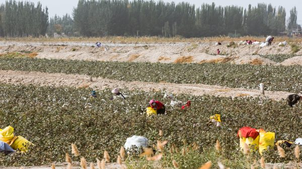 The Chinese government is considering allowing more cotton imports than usual this year following the decision by major US brands to avoid using cotton from the controversial Uighur region of Western China.